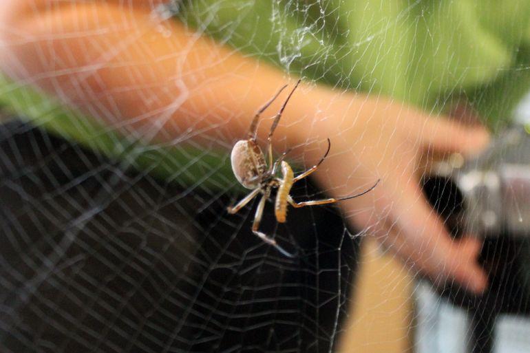 Spinnenseide Tissue Engineering