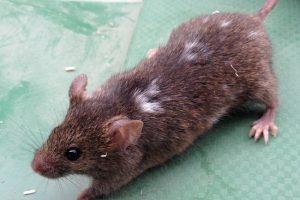 domestizieren Mäuse Stammzellen
