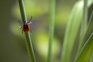 The_castor_bean_tick_(Ixodes_ricinus)