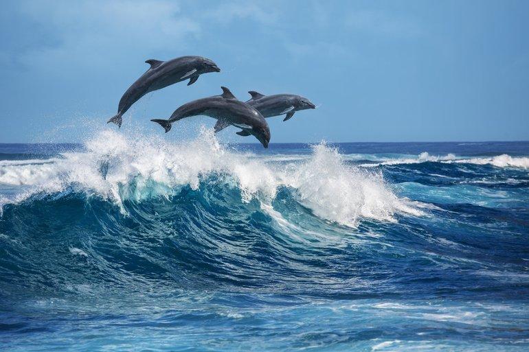 Delfinhaut