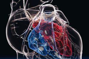Glasherz_mit_Herzkammern_und_Herzkranzgefäßen